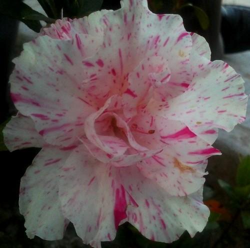 Una hermosa Azalea. Del jardin de la casa de mi hijo Aries Ivan y su esposa Norma. ME RETIRO DE FLICKR, una semana, estare de vuelta el 30 04 2012.