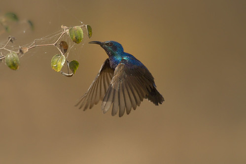 Purple Sunbird male