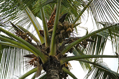 date palm(0.0), flower(0.0), arecales(1.0), coconut(1.0), tree(1.0), plant(1.0), produce(1.0), fruit(1.0), food(1.0), elaeis(1.0),