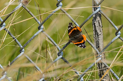 Butterfly on Fence-7150.jpg by Mully410 * Images