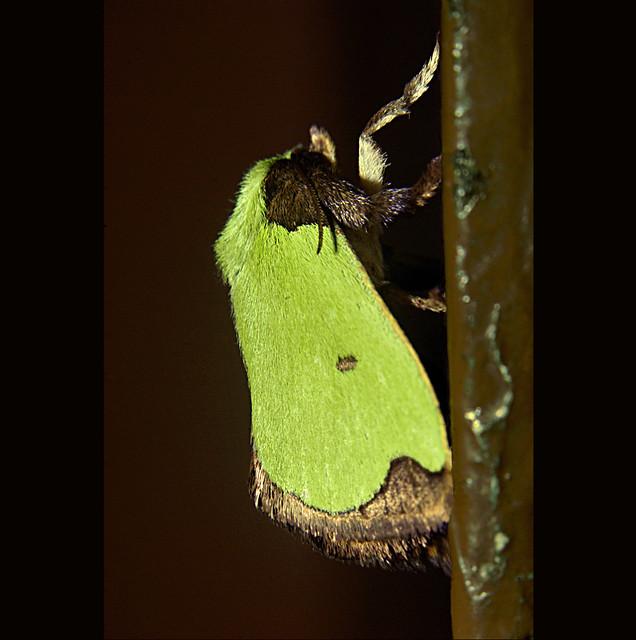Mexico Verde Xalapa Polilla Verde Xalapa.méxico