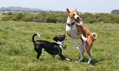 dog sports, dog breed, animal, hound, dog, pet, ibizan hound, carnivoran, basenji, terrier,