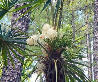 Schippia concolor palm flower CROP