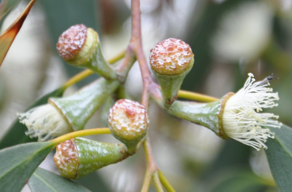 Eucalyptus_coccifera_Jer_170512_2