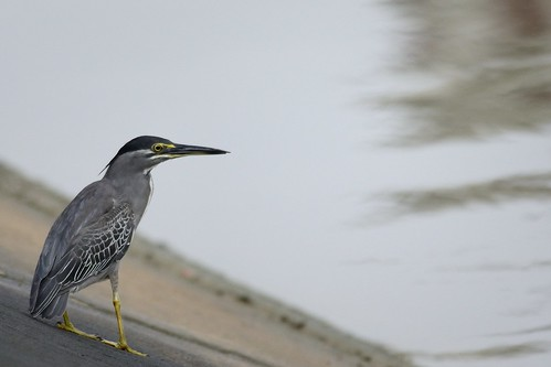 Striated Heron, Mangrove Heron, Little Heron, Green-backed Heron (Butorides striata)