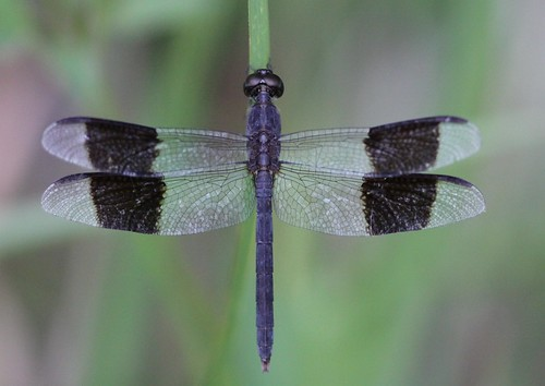 Band-winged Dragonlet (Erythrodiplax umbrata) Male