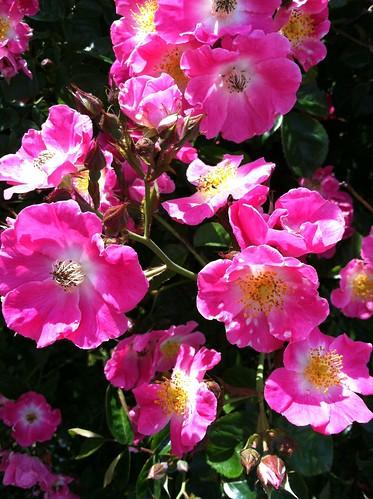 Nantucket flower 4