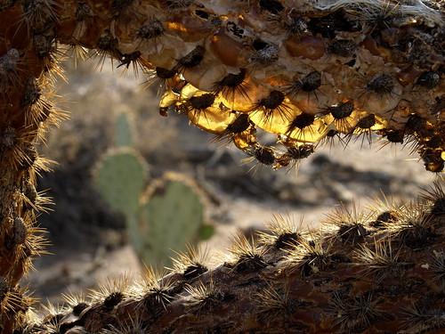 arizona cactus geotagged tucson botanicalgardens cholla tohonochulpark cylindropuntia cactuswood desertcorner cactusskeletons geo:lat=32340582626536765 geo:lon=11097982530919268