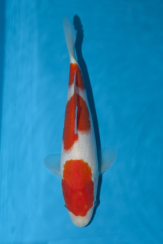 baby champ Quality koi