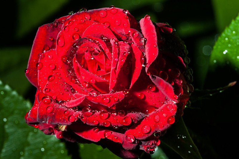 Rose and raindrops