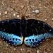 Small photo of Lexias pardalis (male)