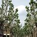 Trees, Bermondsey