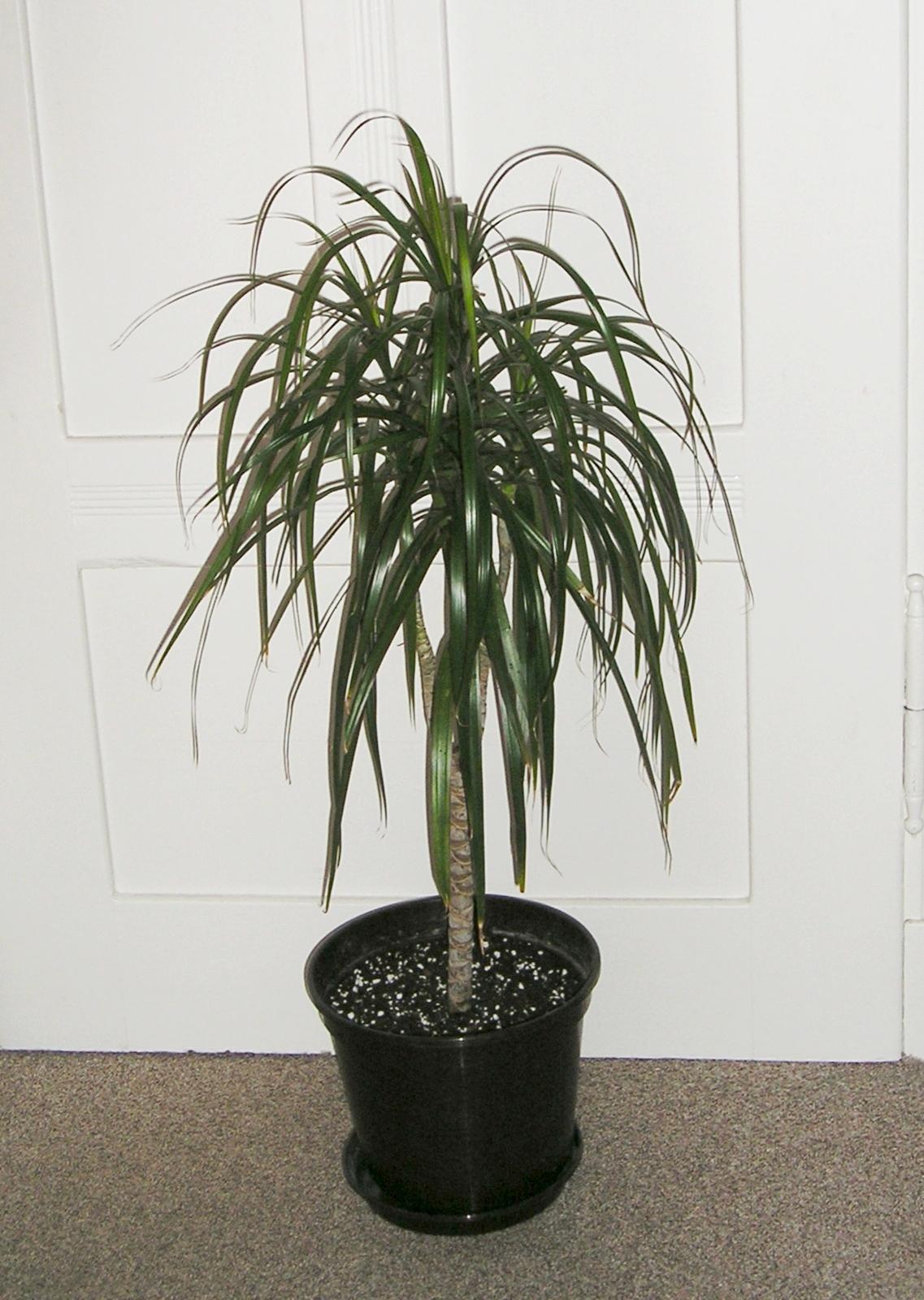 drachenbaum dracaena marginata bicolor flickr photo sharing. Black Bedroom Furniture Sets. Home Design Ideas