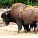 Small photo of Waldbison - American buffalo