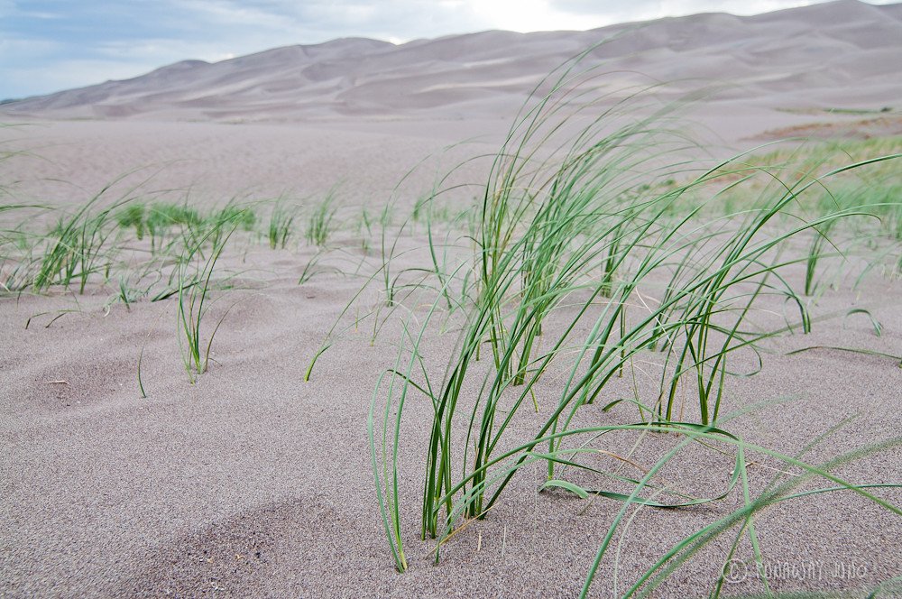 Grass on the great sand dunes