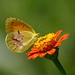 Sleepy Orange (Eurema nicippe)