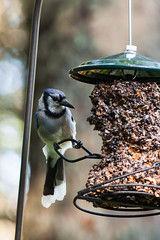 branch(0.0), chickadee(0.0), fauna(1.0), bird feeder(1.0), bird(1.0),
