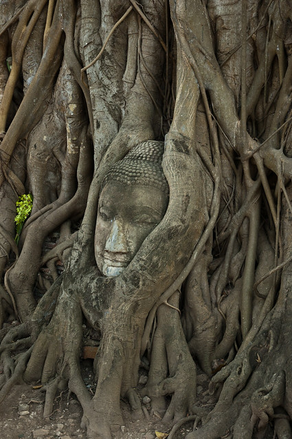 Bust d'un buda atrapat entre les branques d'un arbre