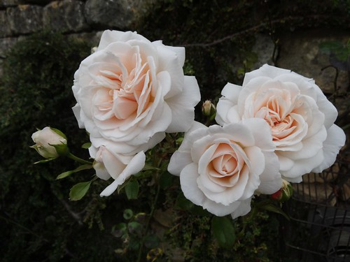 Beautiful Ivory Blush Roses!