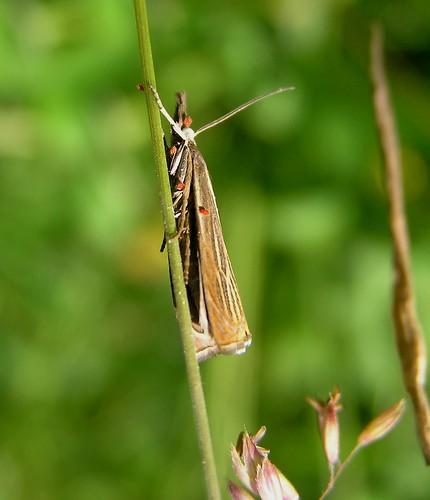 Chrysocrambus craterellus - 19/06/12