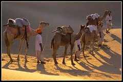 carvan of camels