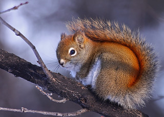 Red Squirrel...#1