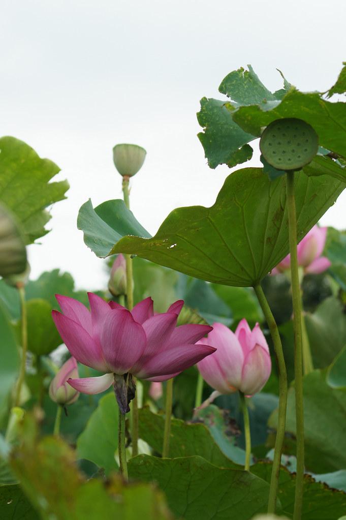 2012桃園蓮花季