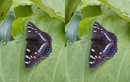 Limenitis populi, stereo parallel view