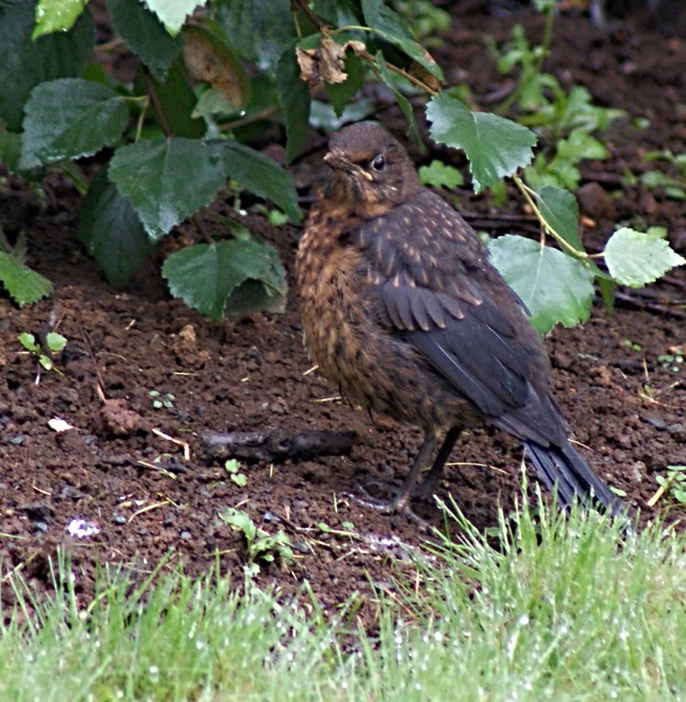 Blackbird youngster