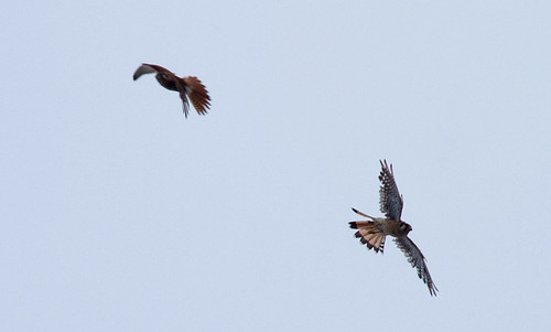 Kestrel vs Kestrel