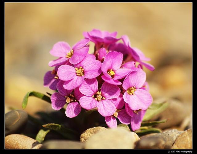Pallas' Wallflower (Erysimum pallasii)