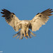 White-Tailed Kite Hunting (Explored July 31, 2012) - IMG_3746