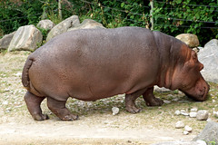 DSC00665 - Hippopotamus