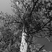 Monotone Pine