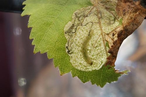 Eriocrania unimaculella tenanted mine