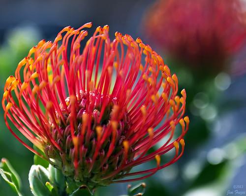 Pincusion Protea - San Diego Zoo by SARhounds
