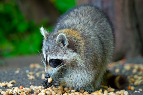 Raccoon Eating Peanuts