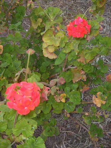 Fiori e foglie di geranio rosso zonale (Pelargonium zonale)