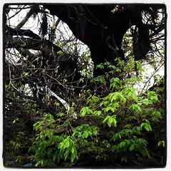 三崎の天然記念物アコウ樹