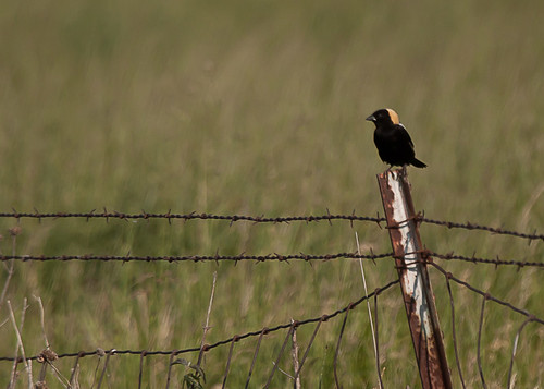 <p>I had not seen a breeding plumaged Bobolink in some time. It was great to catch up to another of my all time favorite birds!</p>
