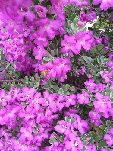 Purple sage bush 5