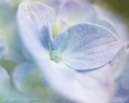 pastel tie-dyed hydrangea