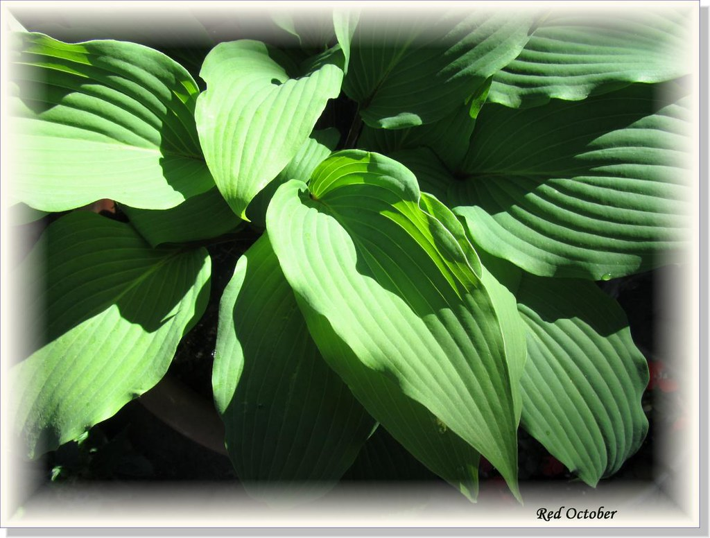 Hostas Only 1 (13)