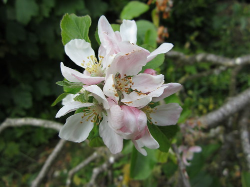 Apple Blossoms #3
