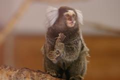 primate(0.0), macaque(0.0), animal(1.0), mammal(1.0), fauna(1.0), marmoset(1.0), close-up(1.0), old world monkey(1.0), new world monkey(1.0), wildlife(1.0),