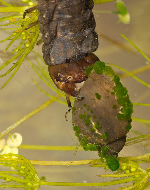 great silver water beetle larva eating wandering pond snail close up 3 edited