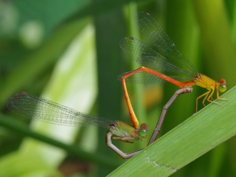 交尾對豆娘成蟲而言,幾乎是除了覓食以外最主要的任務。