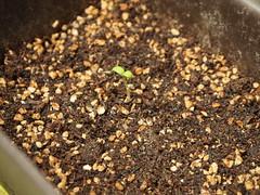 ミニトマト ベランダ 野菜栽培