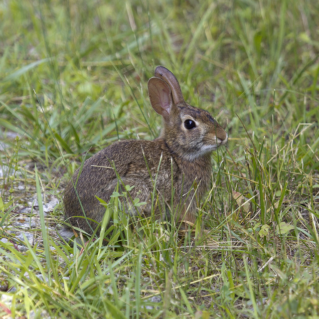eastern cottontail rabbit flickr   photo sharing