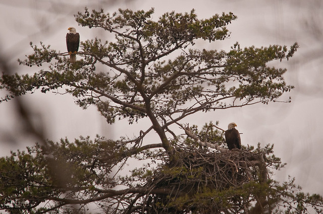 Eagles at Mason Neck State Park